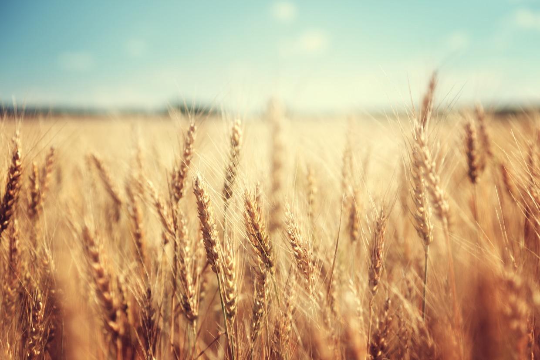 Das Feld ist weiß zur Ernte